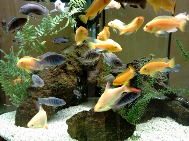 Feng shui and fish tanks elaine giftos wright for Feng shui fish tank
