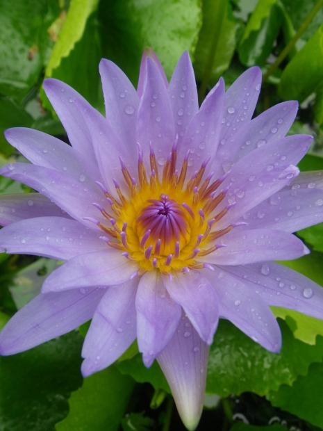 Lotus, Plants and Feng Shui, Shelley Sparks
