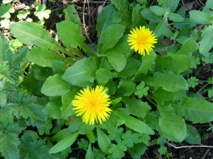 Taking Nature's Lead – How Weeds Can Be Beneficial to Your Garden